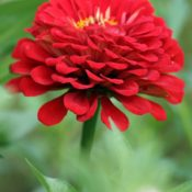 Zinnias: Thriving on Heat and Sun
