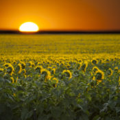 Sunflowers Facing Rising Sun