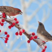 Junco and House Finch Birds on Snow Covered Berry Branch