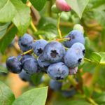 Blueberries are a delicious, edible choice for your yard!