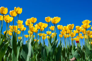 Yellow Tulips with Blue Sky Background.