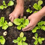 Hands Planting in Garden