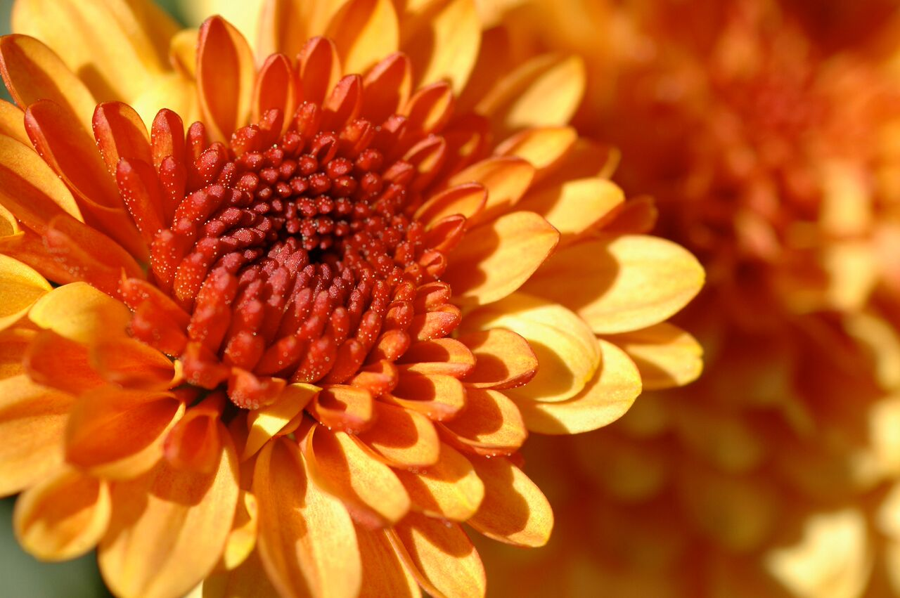 Add a touch of fall to your landscape by planting hardy mums.