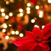 Enjoy Winter Holiday Traditions with Poinsettias.