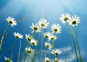 White daisies with sky background