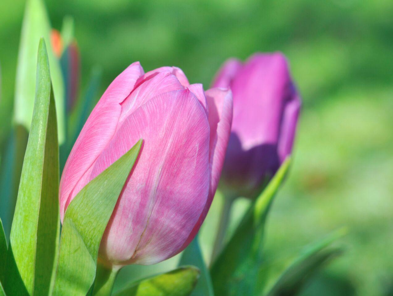 Pink Tulips in Garden.