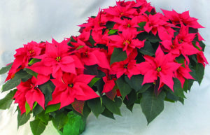 Poinsettia's are the perfect plant for the holidays.