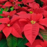 Decorate for the holidays with Poinsettias.