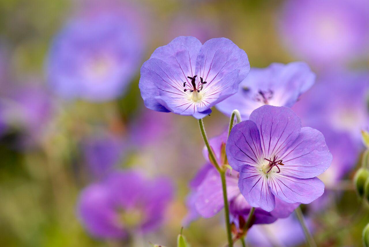 Geranium Perennial Purple