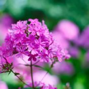 Perennial Phlox Pink