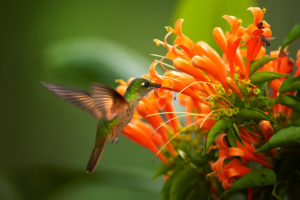 Hummingbirds eat from flowers with long trumpet openings.