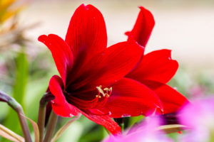 Amaryllis are a great indoor blooming bulb.