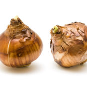 Bulbs are a great option for growing indoors.