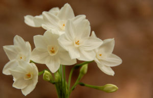 Paperwhite Narcissus are the perfect blooming bulbs to grow inside.