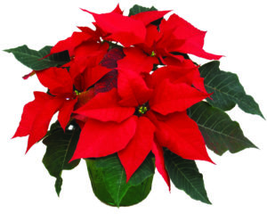 Poinsettia's are the perfect addition to bring holiday spirit into any home.