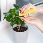 Indoor Plant Cleaning