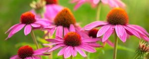 Coneflower Perennial