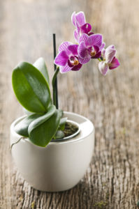 Indoor Blooming Orchid