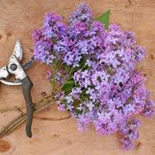 Lilac Prune
