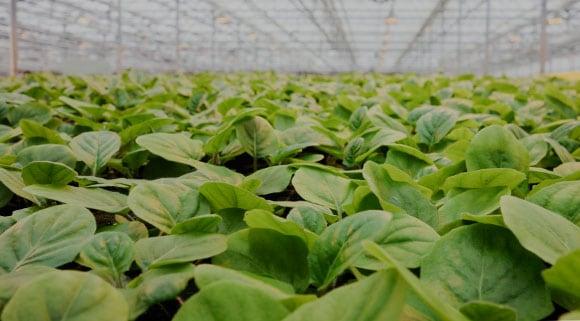 wholesale young plants