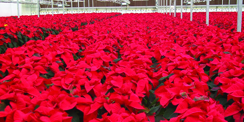 Wholesale Holiday Plants & Evergreens Program - MN | Wagner