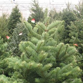Fresh Cut, Local Christmas Trees