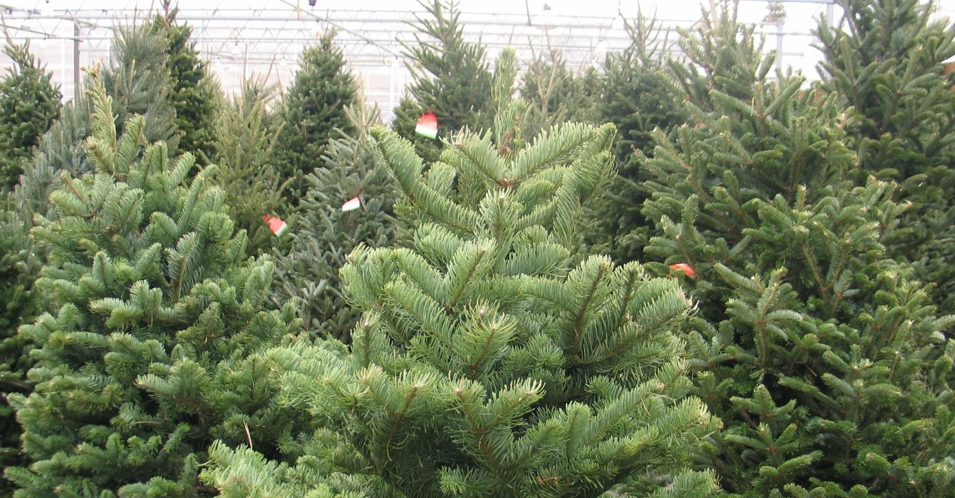 Fresh Cut Local Christmas Trees