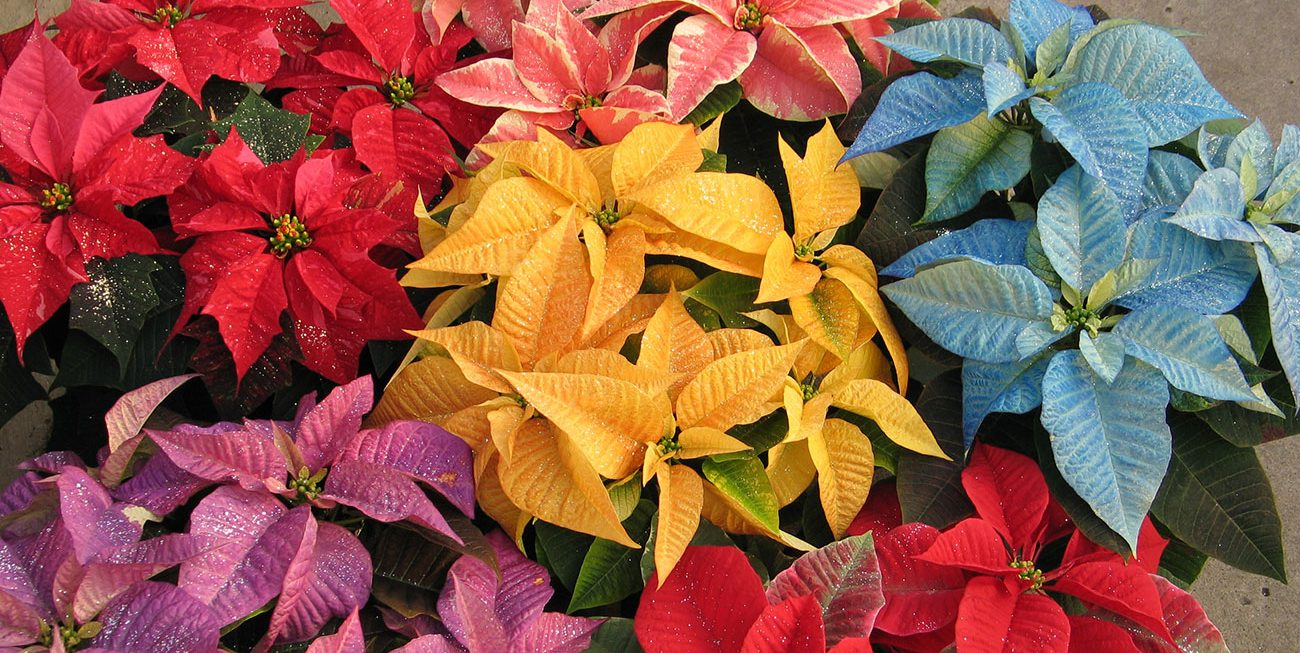 Locally Grown Poinsettias Minneapolisst Paul Wagners Greenhouses