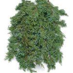 juniper bough