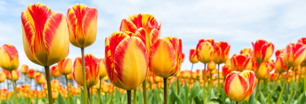 Plant bulbs for sale minneapolisst paul wagners greenhouses flowering plant bulbs mightylinksfo