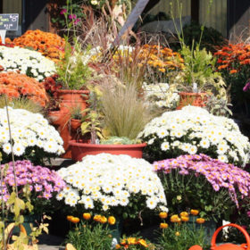 Fall Plants: Mums, Kale & More