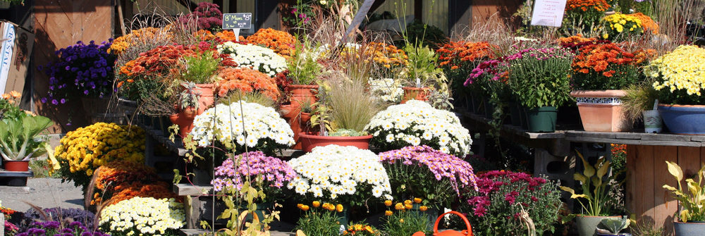 fall mums for sale