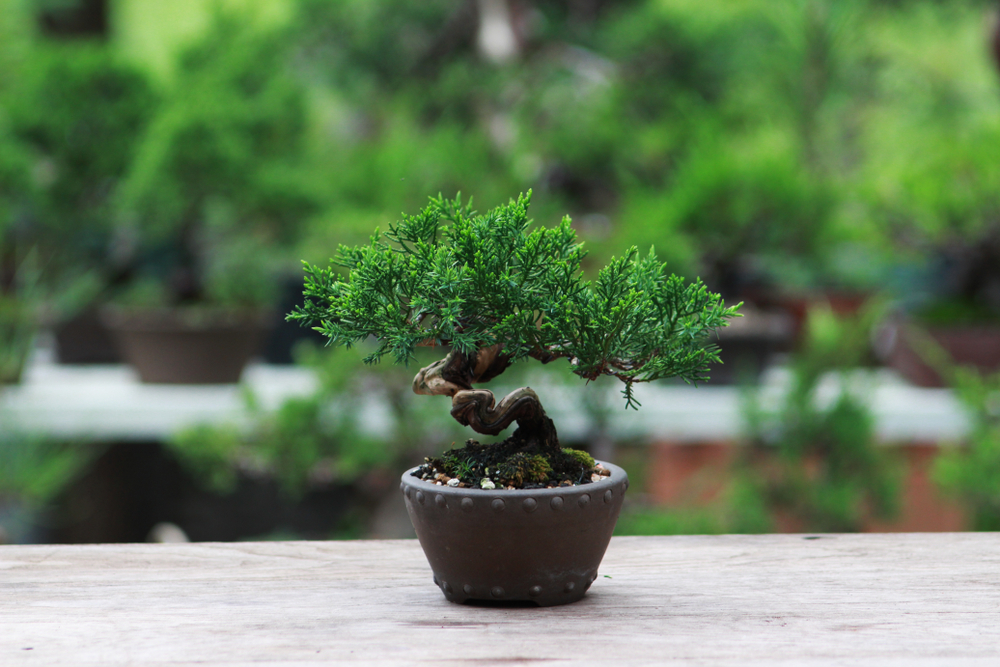 Bonsai trees for sale minnesota