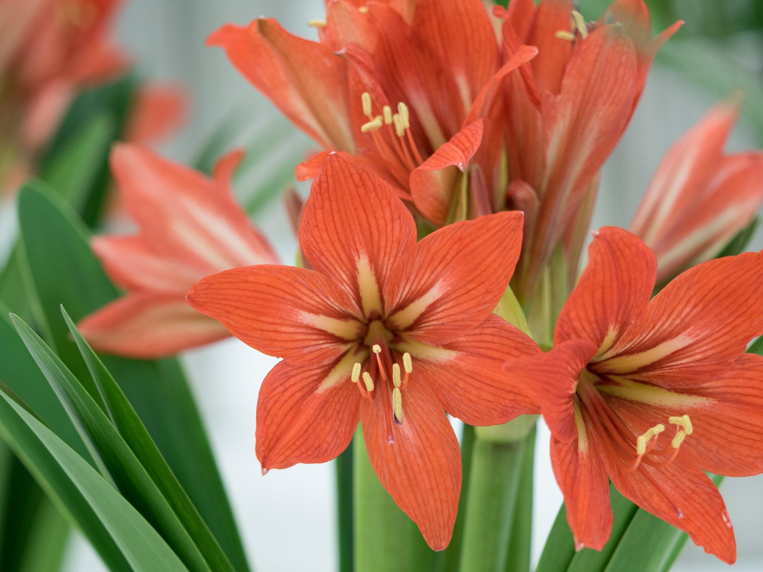 orange amaryllis flower
